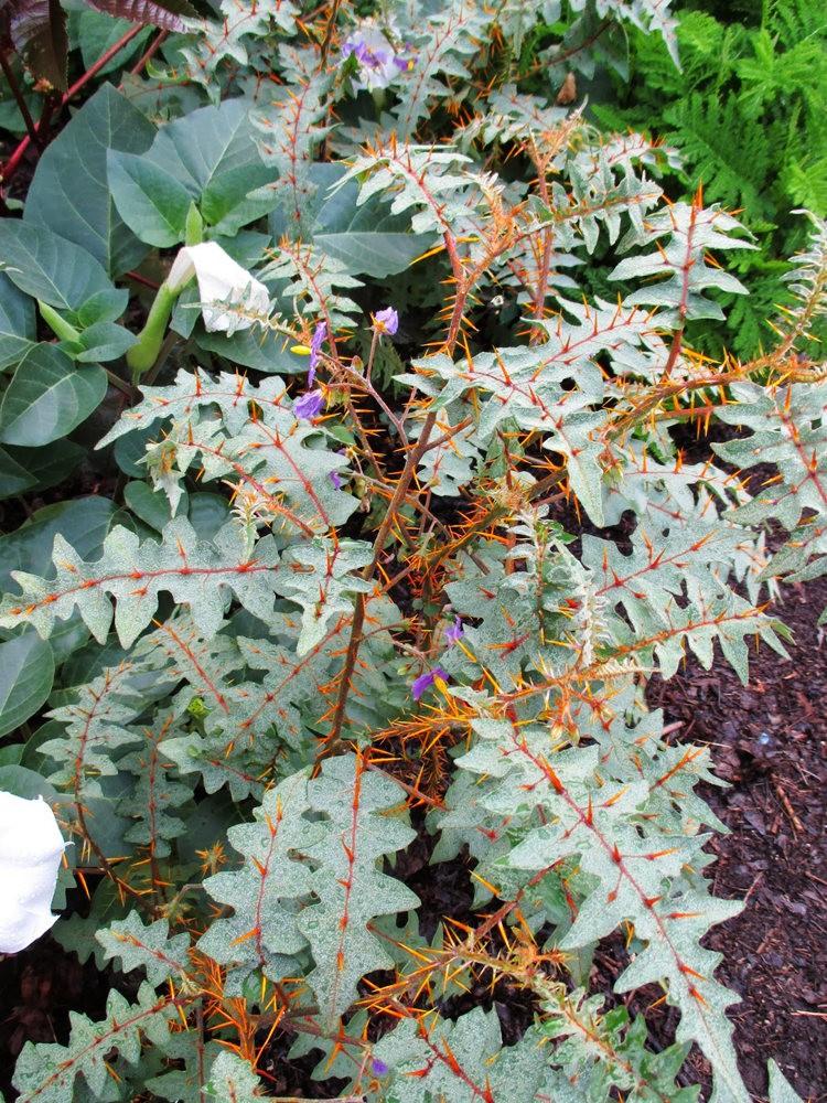 豪猪番茄---神奇的植物_图1-5
