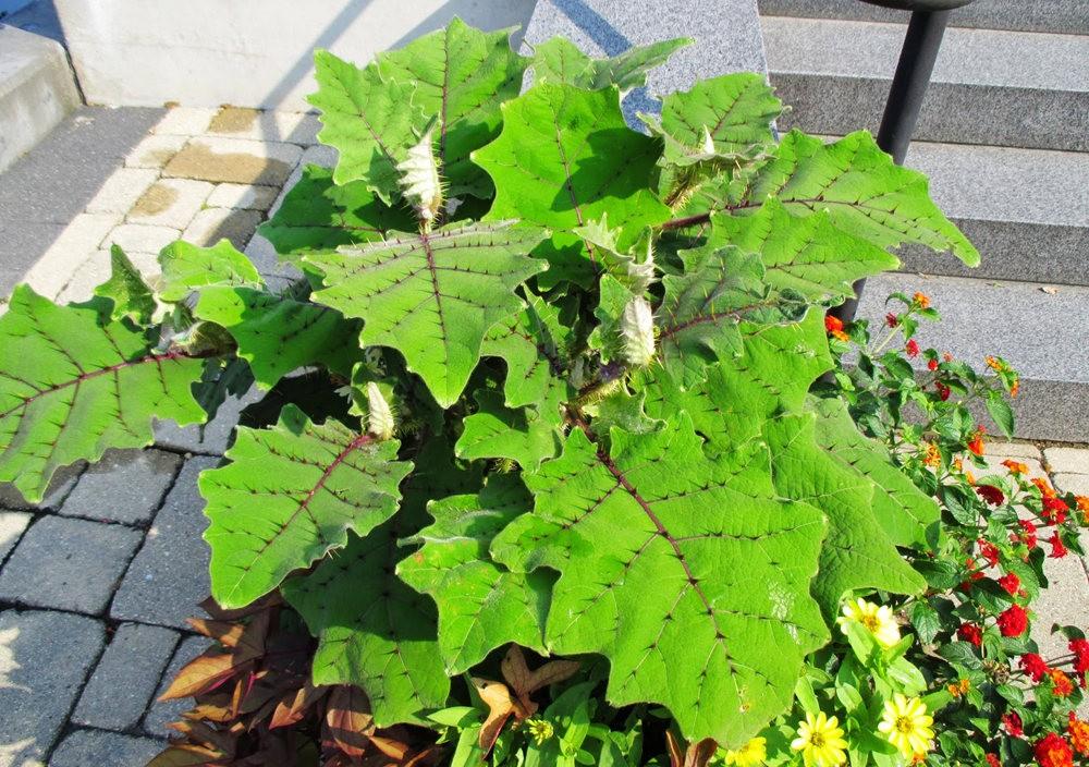 豪猪番茄---神奇的植物_图1-8