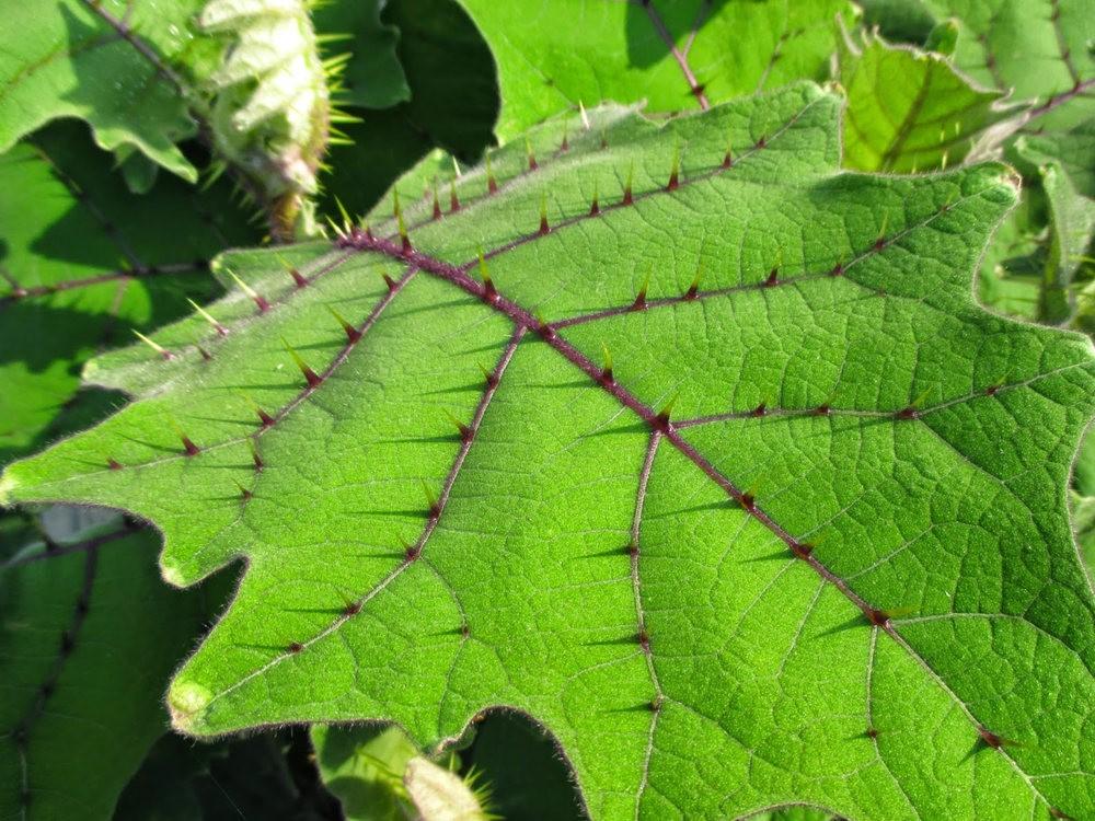 豪猪番茄---神奇的植物_图1-9