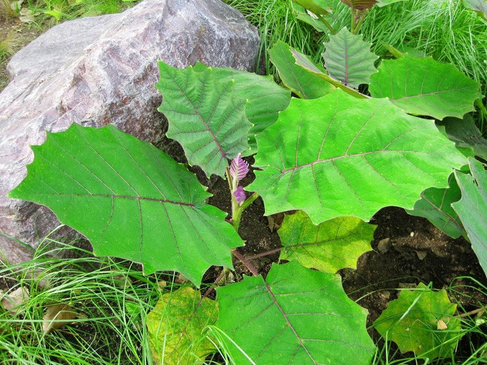 豪猪番茄---神奇的植物_图1-10