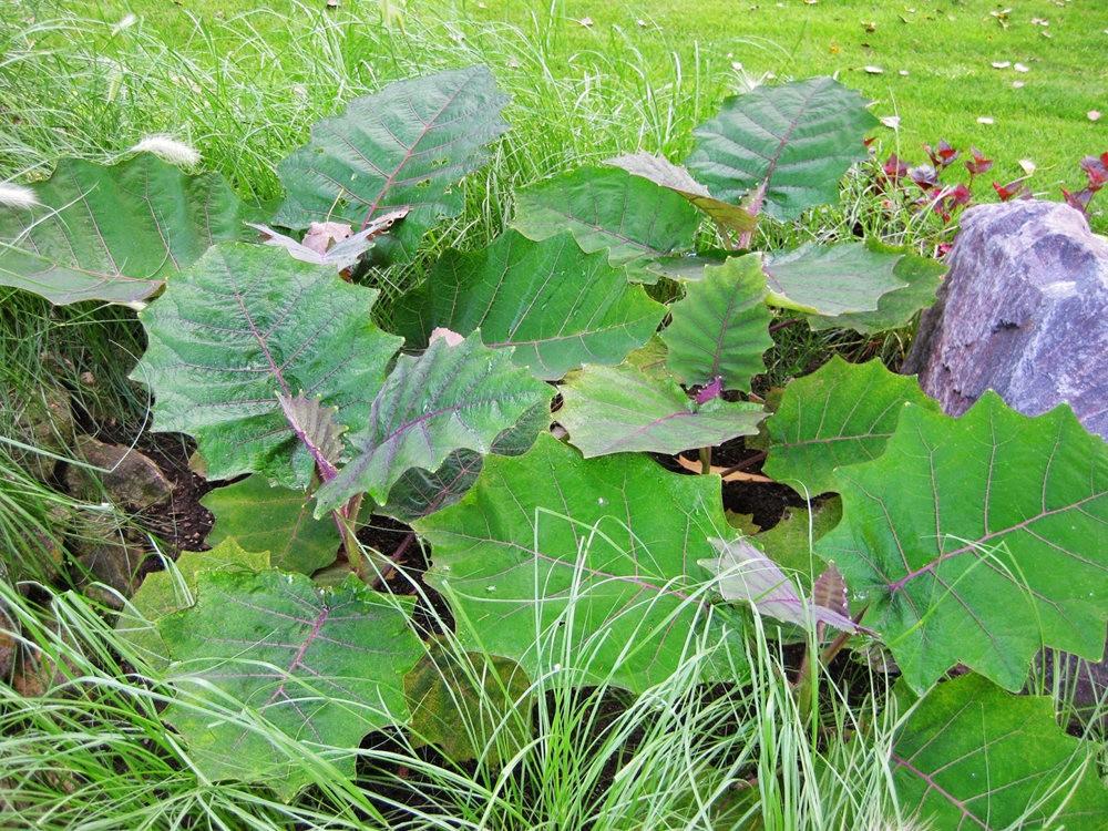 豪猪番茄---神奇的植物_图1-11