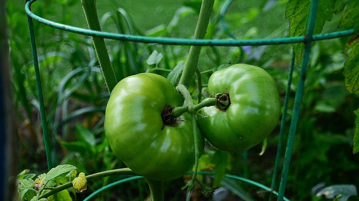 菜园子--02番茄篇_图1-4