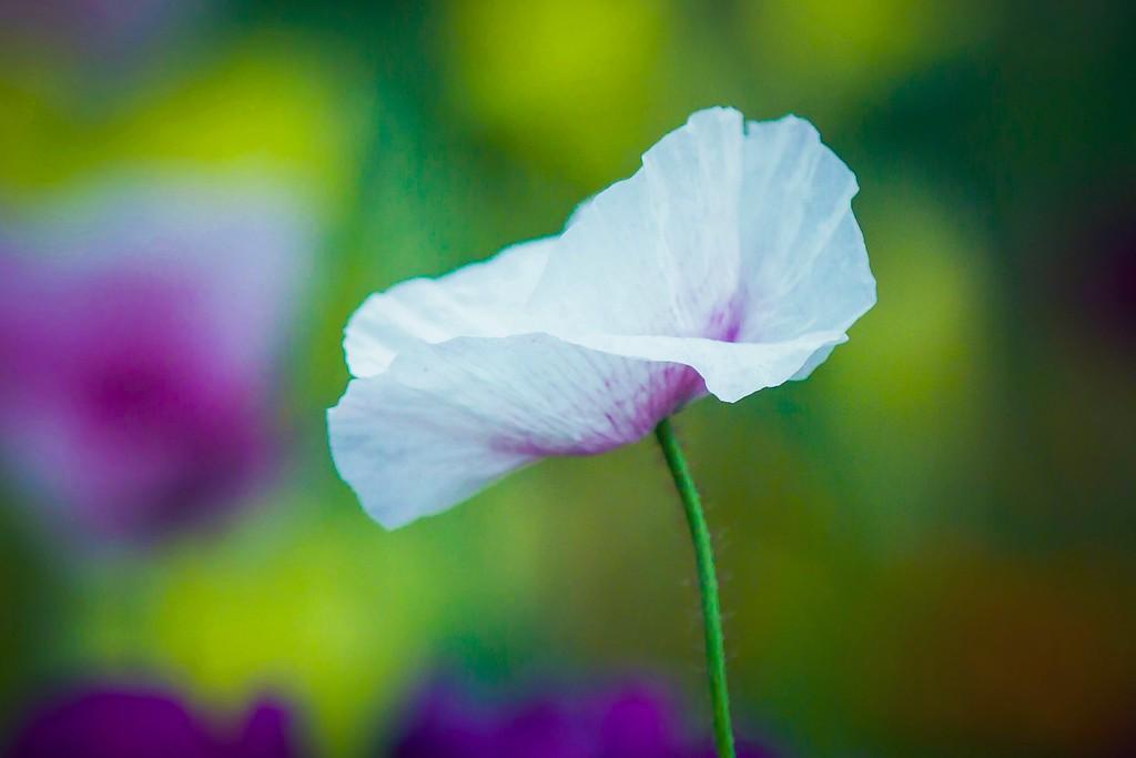 罂粟花,妖艳美丽_图1-10