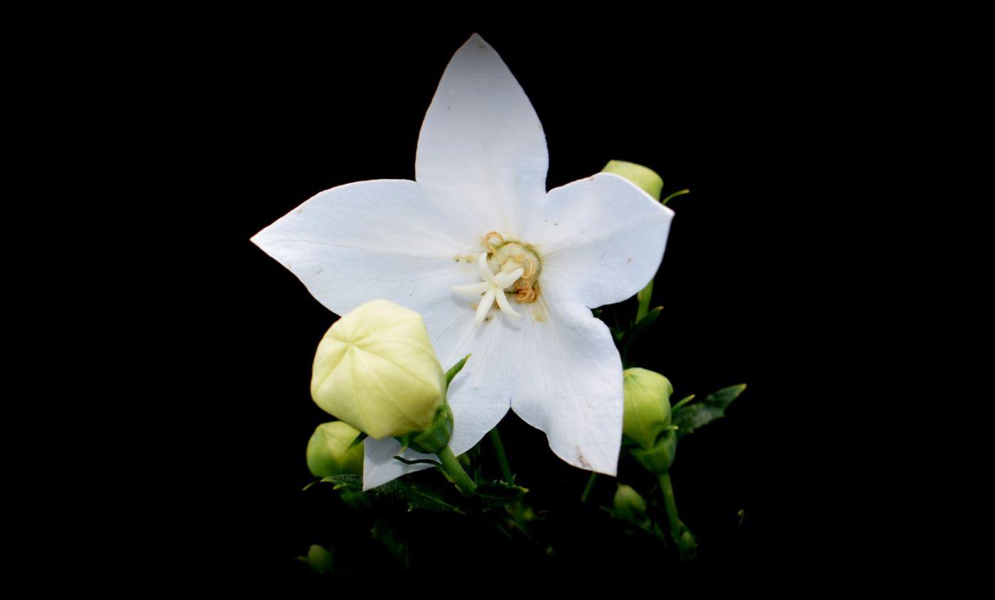 白花桔梗_图1-6