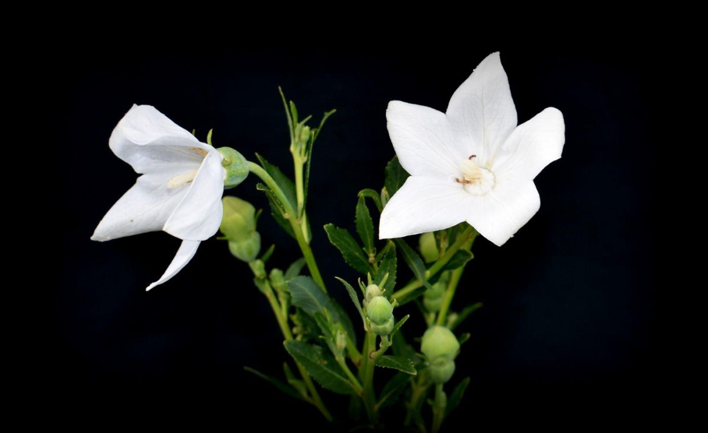 白花桔梗_图1-19
