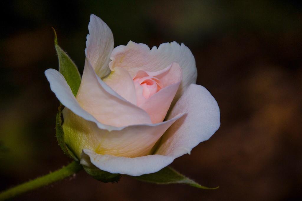 玫瑰花,语义满满_图1-3