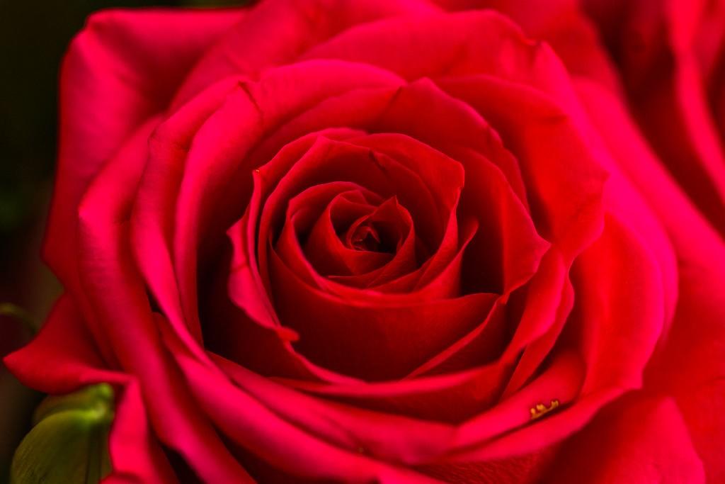 玫瑰花,语义满满_图1-2