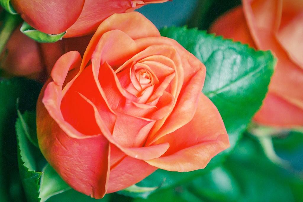 玫瑰花,语义满满_图1-11