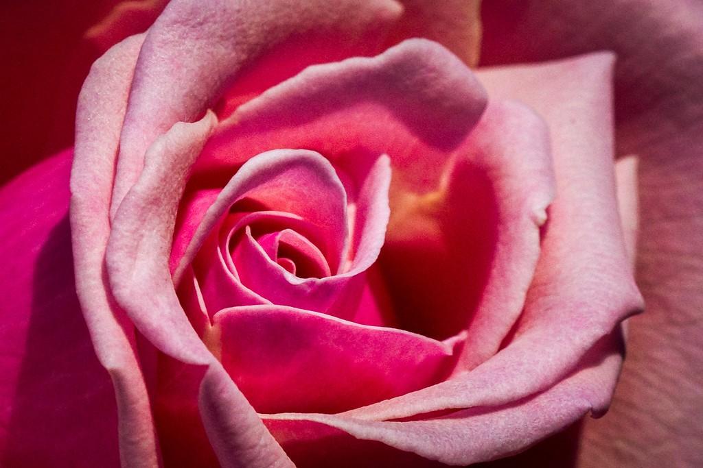 玫瑰花,语义满满_图1-16