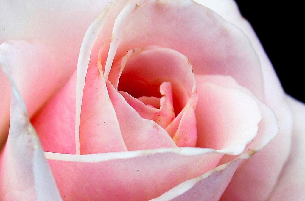 玫瑰花,语义满满_图1-9