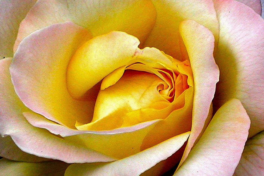 玫瑰花,语义满满_图1-10