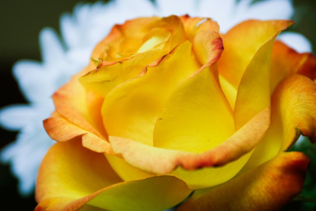 玫瑰花,语义满满_图1-8
