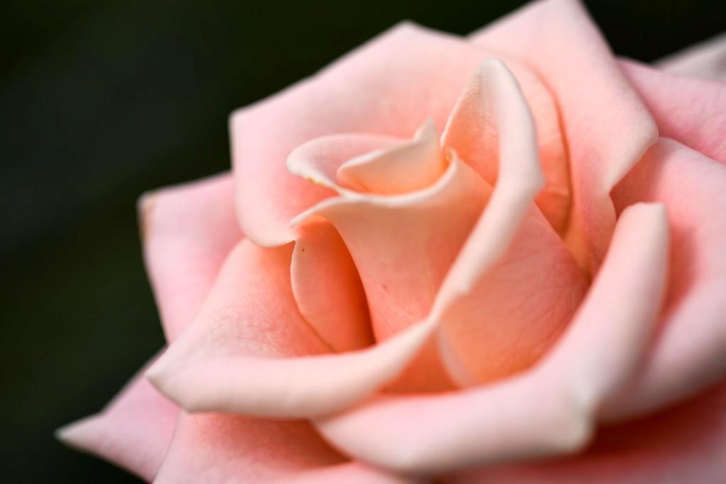玫瑰花,语义满满_图1-6