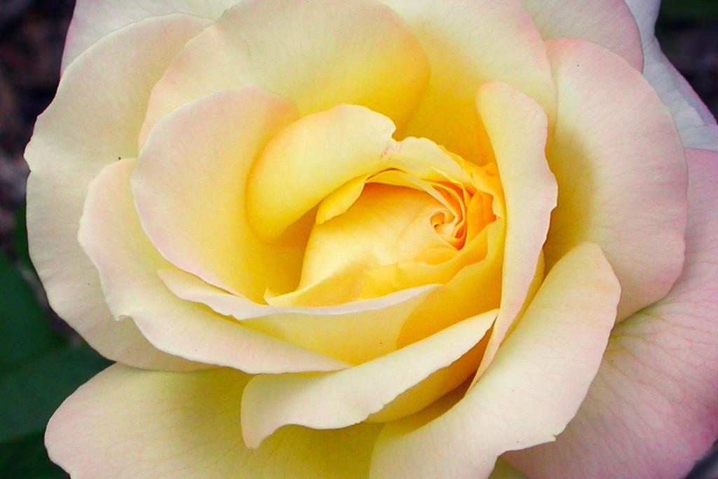 玫瑰花,语义满满_图1-14