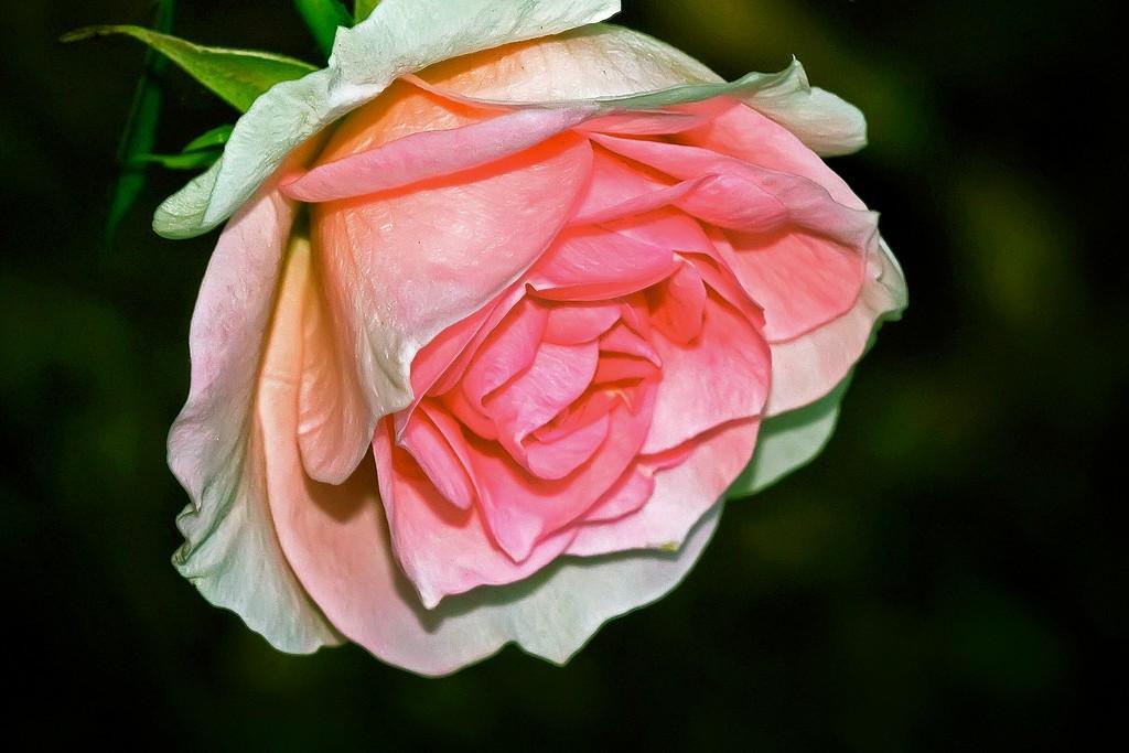 玫瑰花,语义满满_图1-18