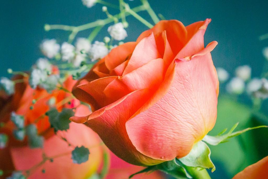 玫瑰花,语义满满_图1-20