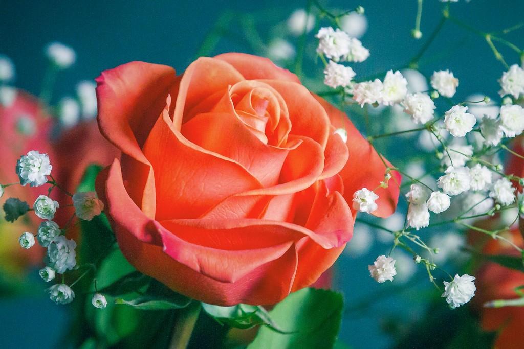 玫瑰花,语义满满_图1-13