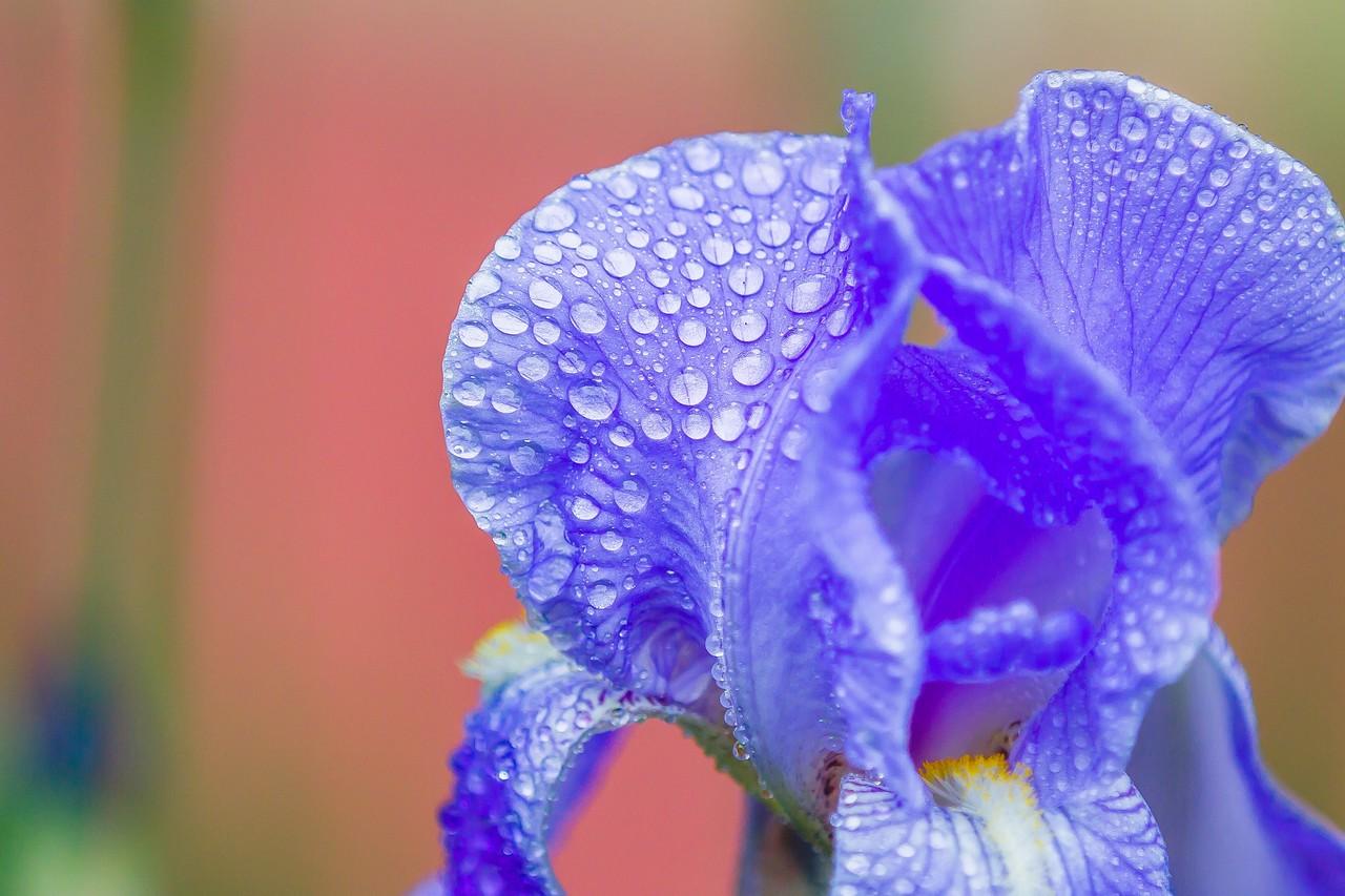 鸢尾花,雨后春光_图1-14