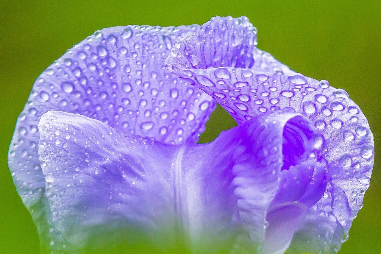 鸢尾花,雨后春光_图1-5