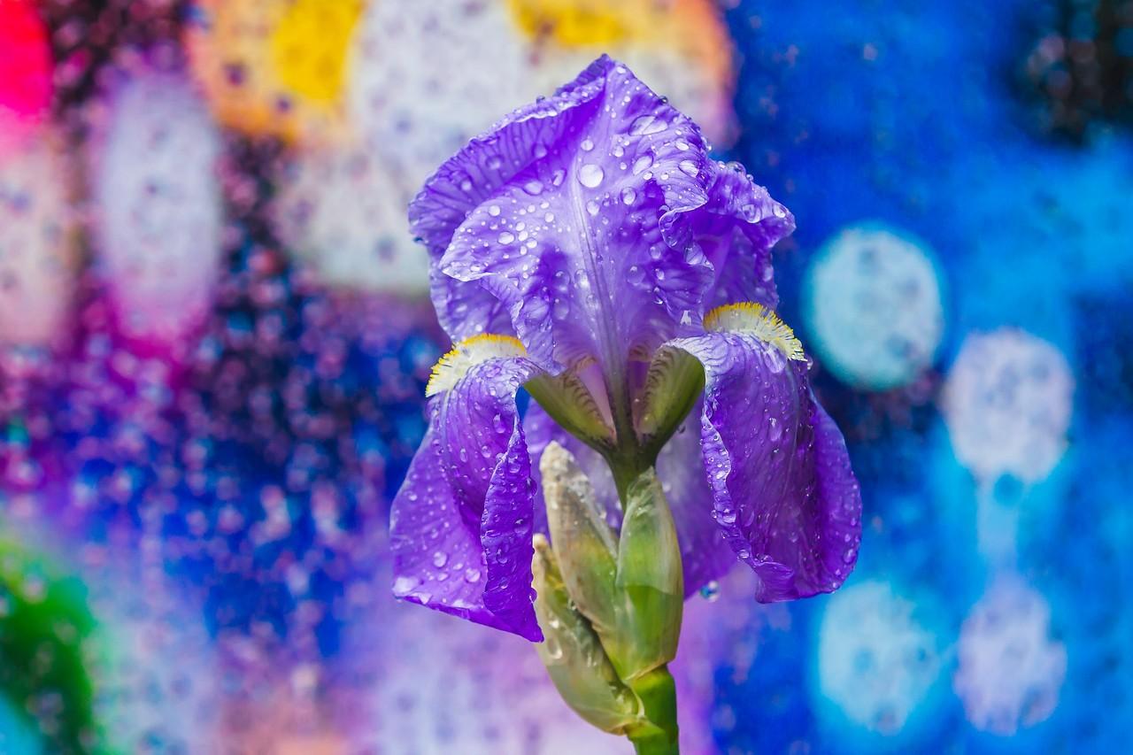鸢尾花,雨后春光_图1-3