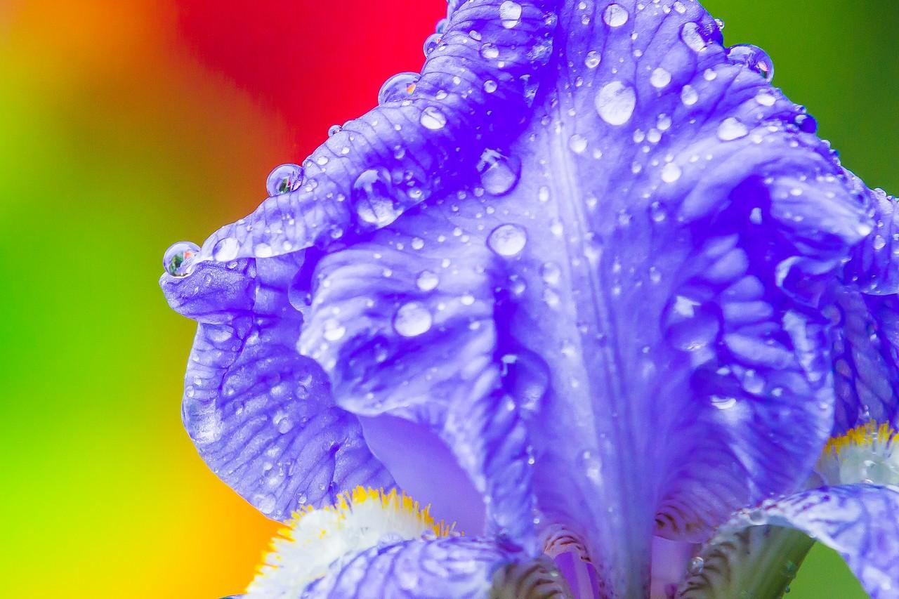 鸢尾花,雨后春光_图1-4