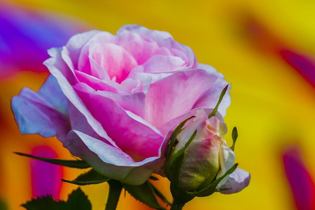 玫瑰花,展开局部_图1-20