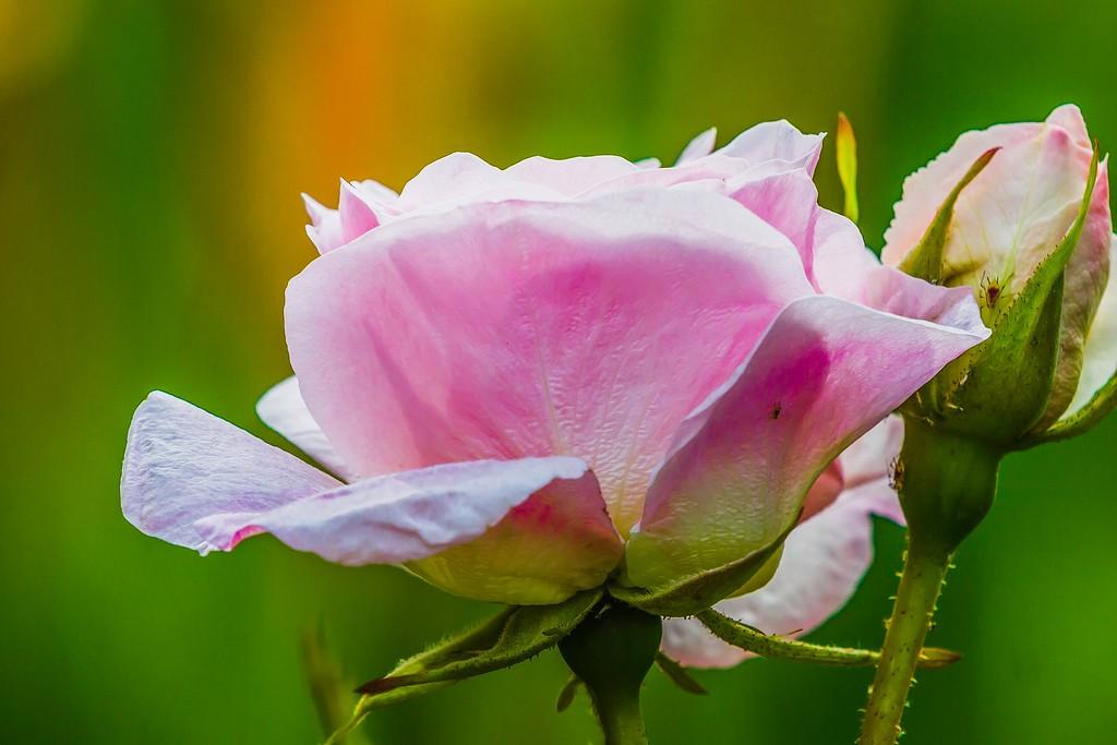 玫瑰花,展开局部_图1-9