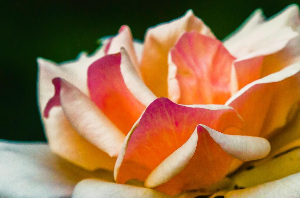 玫瑰花,展开局部_图1-14