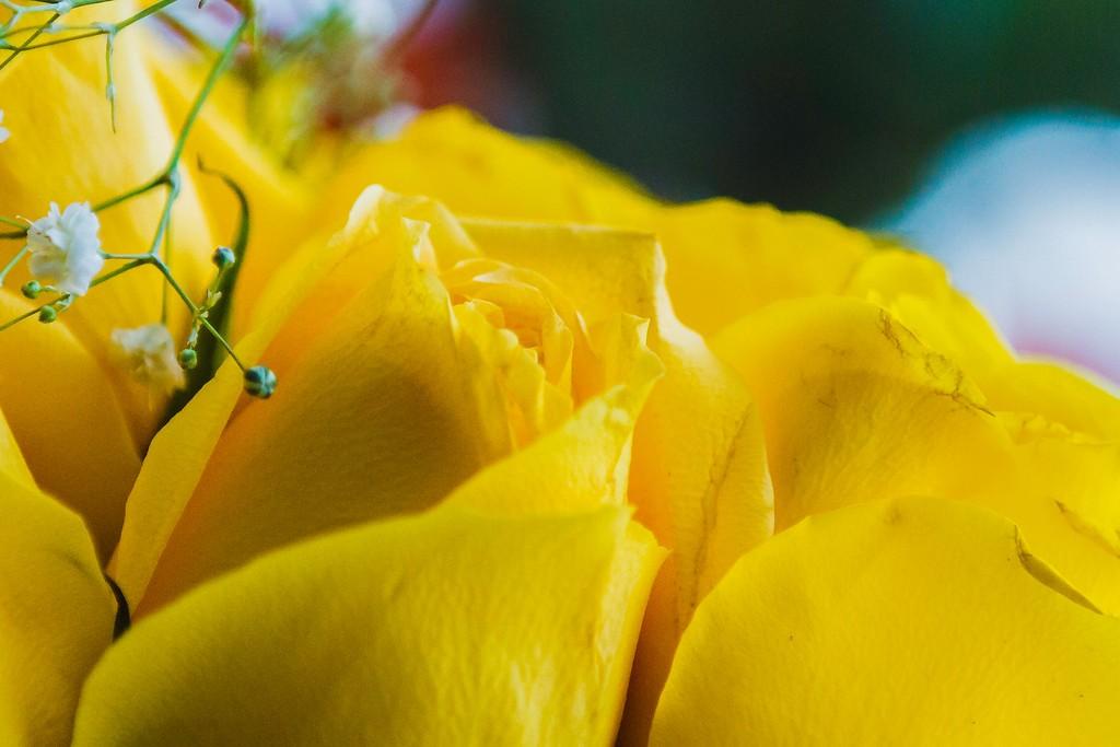 玫瑰花,展开局部_图1-11