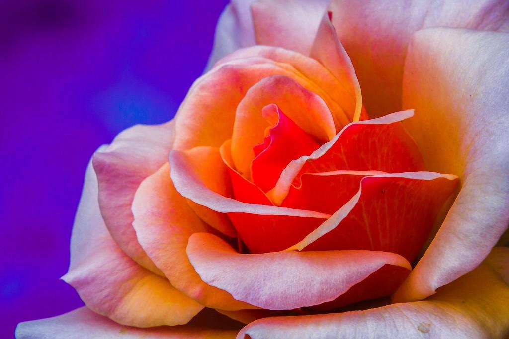 玫瑰花,展开局部_图1-16