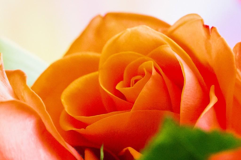 玫瑰花,展开局部_图1-12