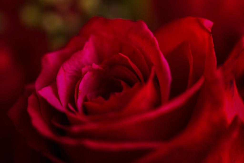 玫瑰花,展开局部_图1-10