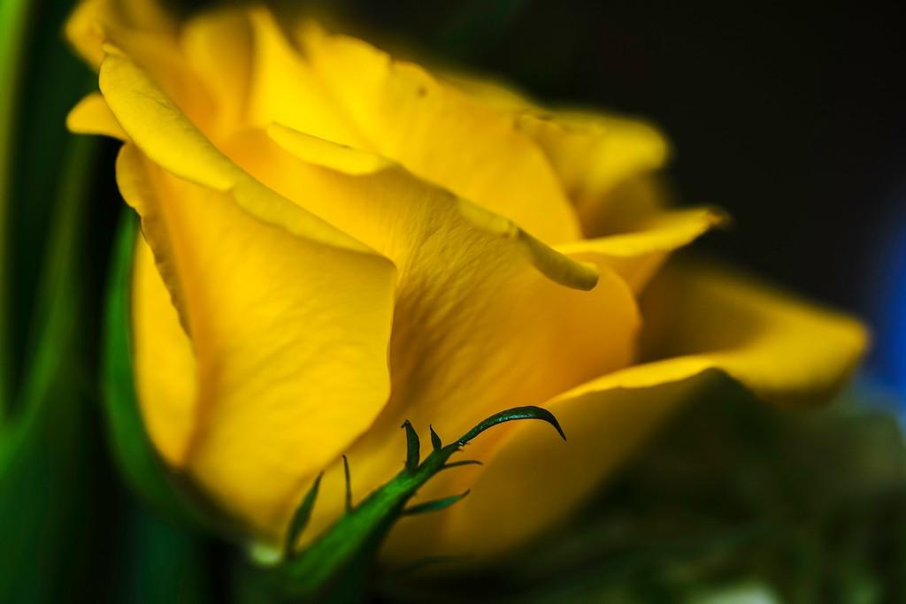 玫瑰花,展开局部_图1-5