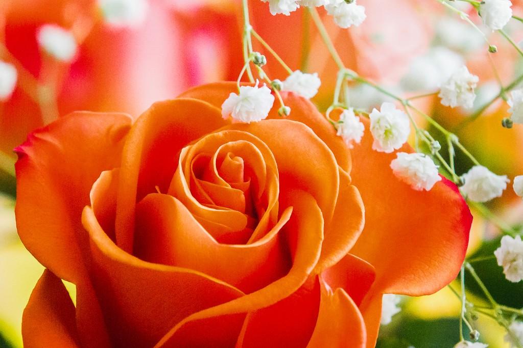 玫瑰花,展开局部_图1-4