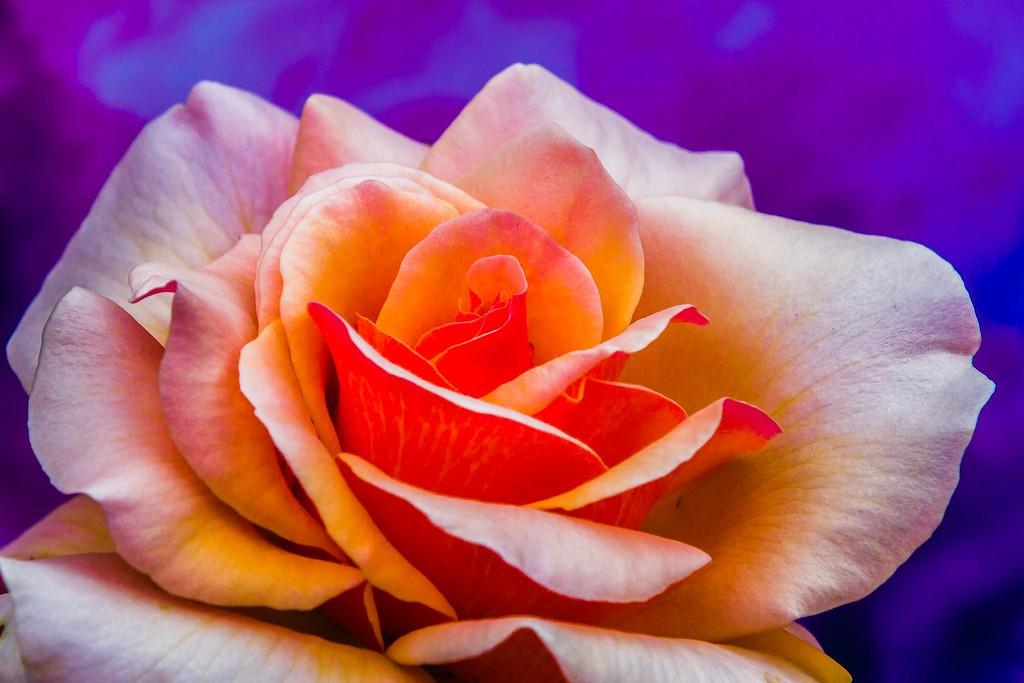 玫瑰花,展开局部_图1-1
