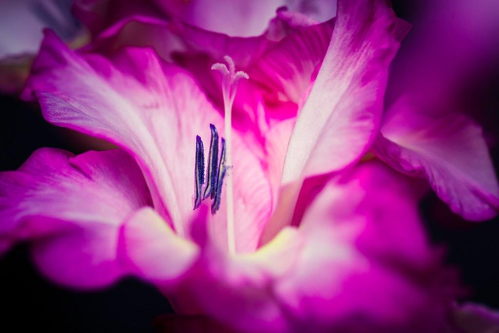 菖兰花,玲珑洁雅_图1-7