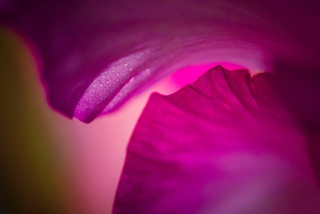 菖兰花,玲珑洁雅_图1-20