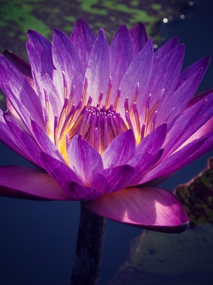莲花,纯洁和美_图1-8