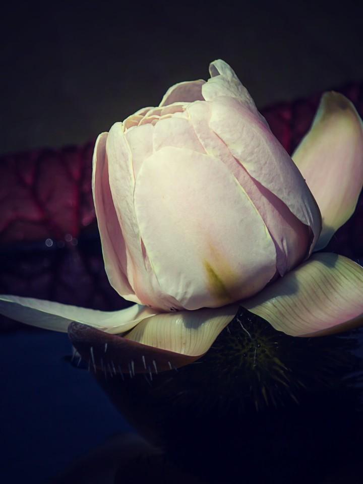 莲花,纯洁和美_图1-7