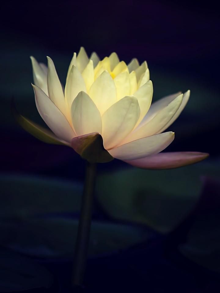 莲花,纯洁和美_图1-3