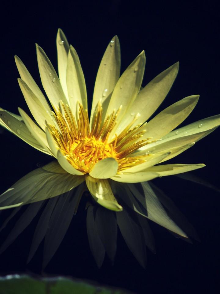 莲花,纯洁和美_图1-2