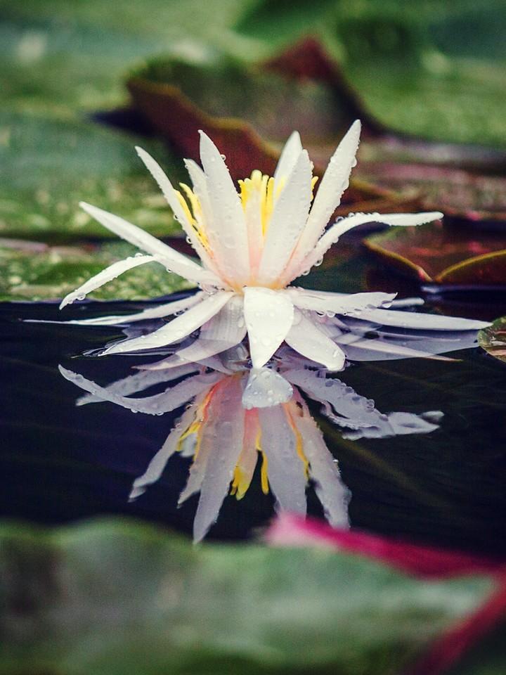 莲花,纯洁和美_图1-5