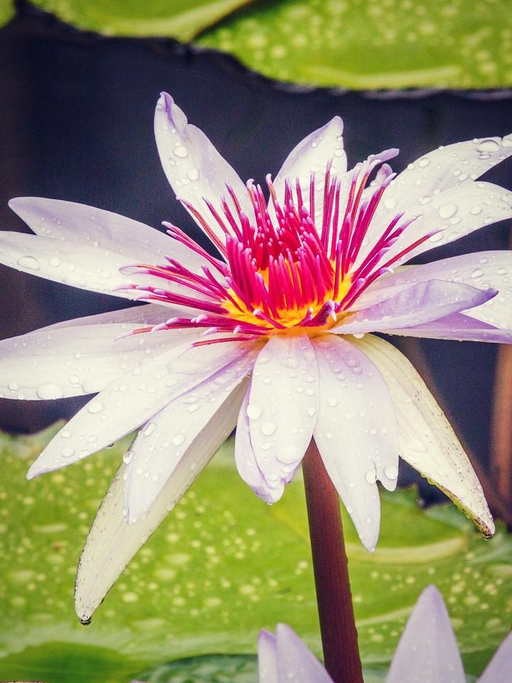 莲花,纯洁和美_图1-9