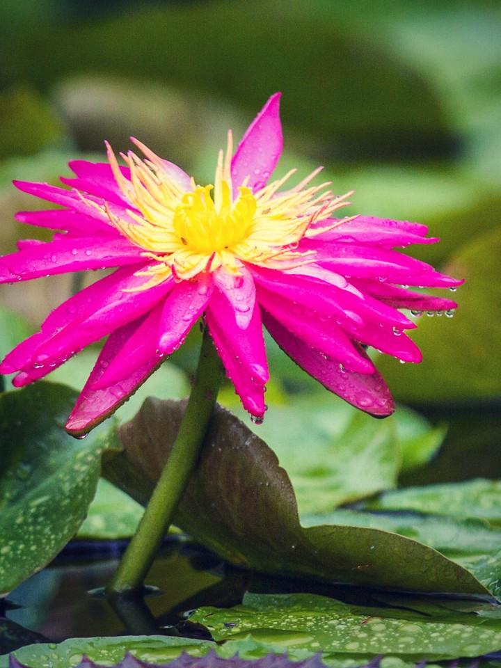莲花,纯洁和美_图1-4
