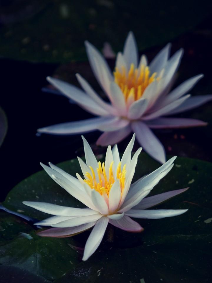 莲花,纯洁和美_图1-15