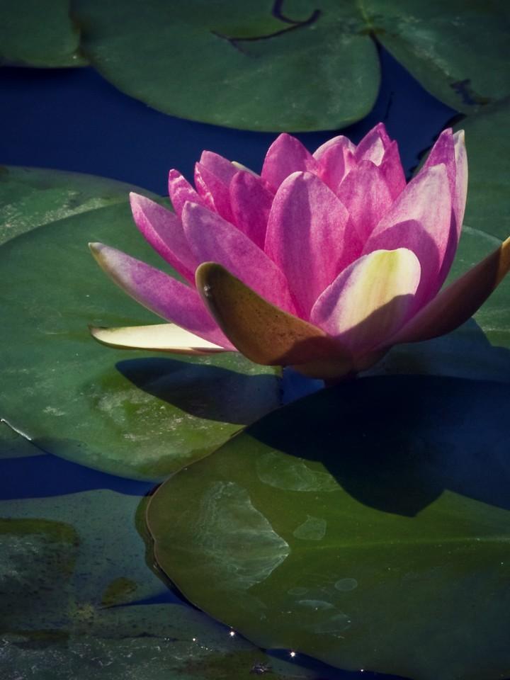 莲花,纯洁和美_图1-16