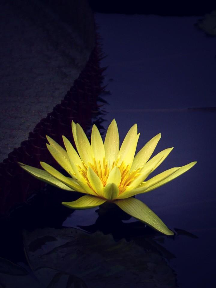 莲花,纯洁和美_图1-12