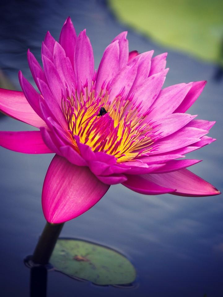 莲花,纯洁和美_图1-6