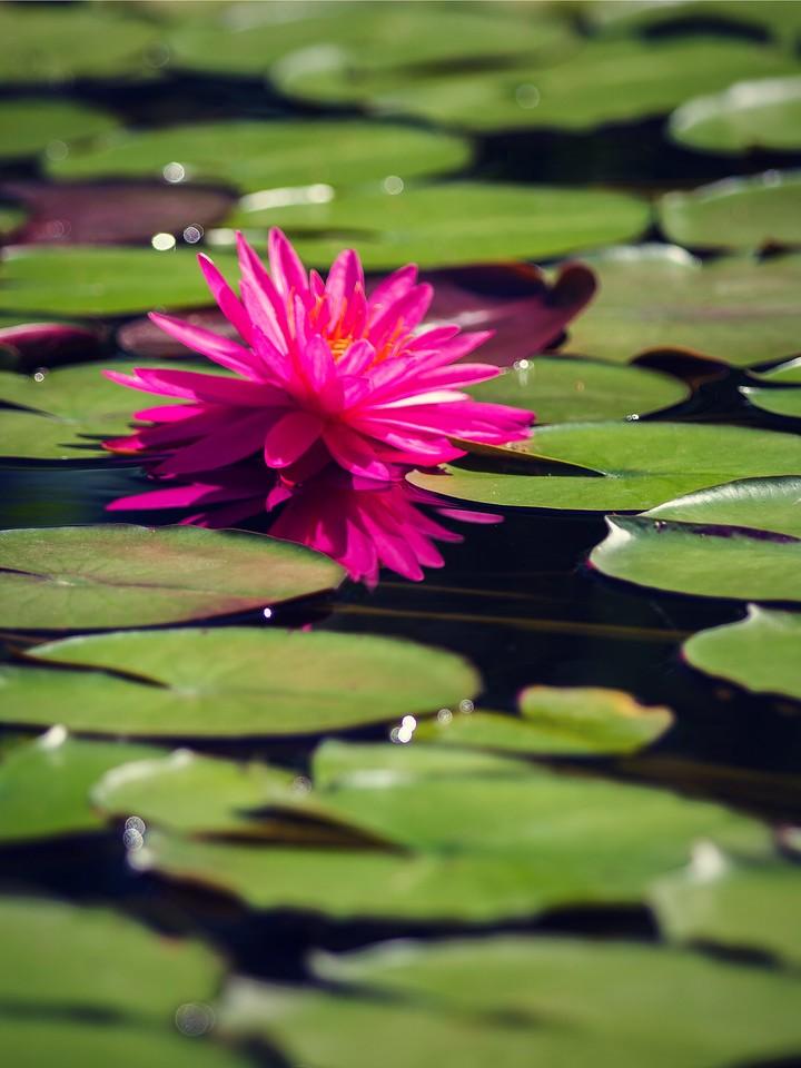 莲花,纯洁和美_图1-11