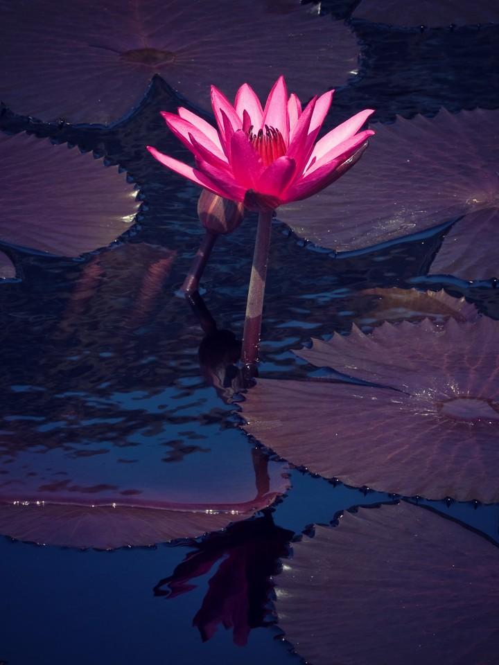 莲花,纯洁和美_图1-13